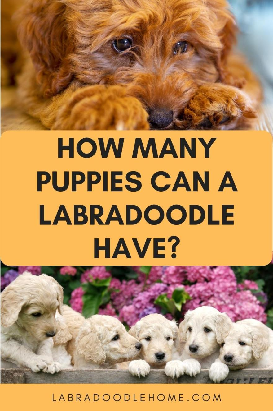 How Many Puppies Can A Labradoodle Have What Is The Average Litter Size For Labradoodles