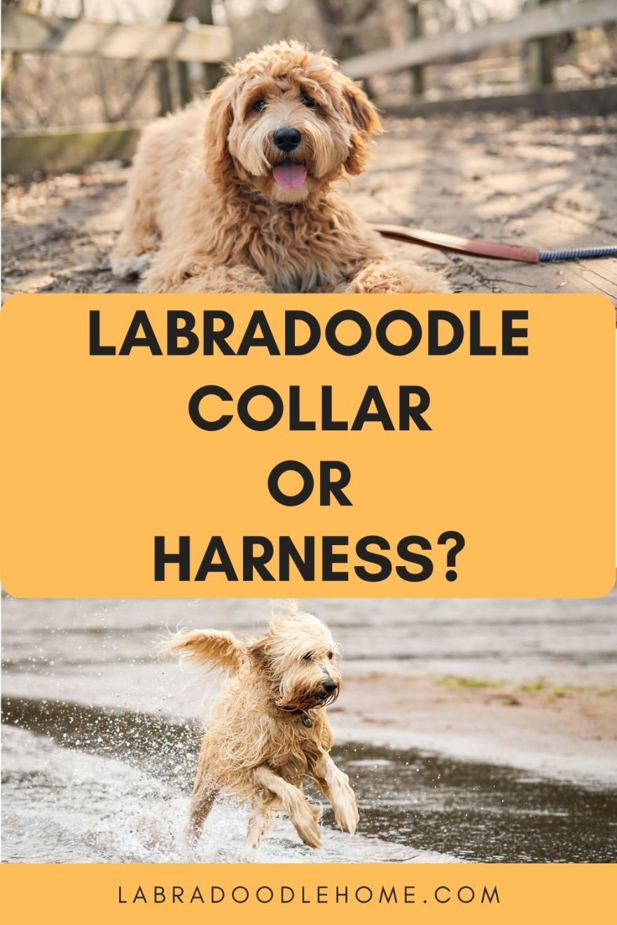 Labradoodle collar or harness