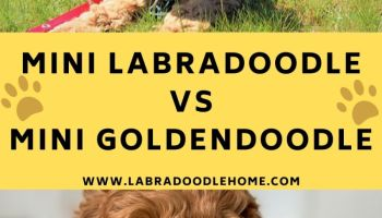 mini labradoodle vs mini goldendoodle