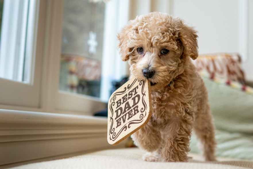 adorable poodle with wooden pad in mouth walking on bed Labradoodle Chewing Why Does Labradoodles Chew