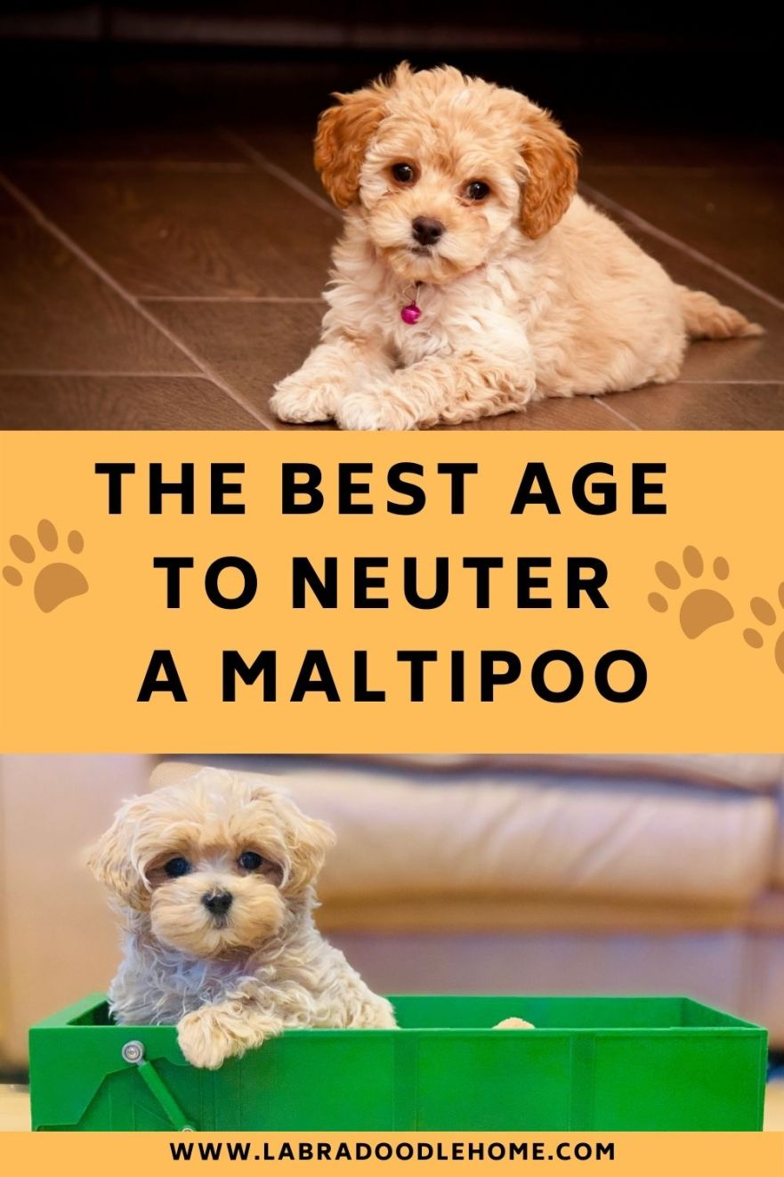 What Is the Best Age to Neuter a Maltipoo