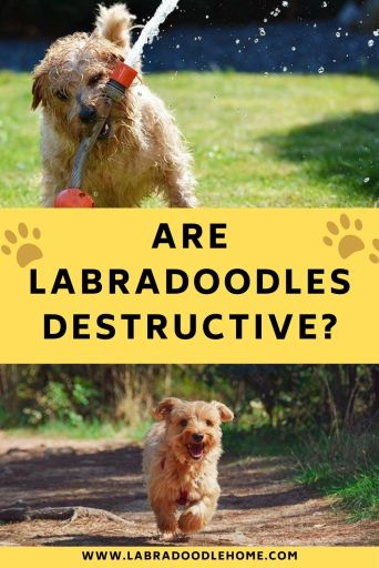 are labradoodles destructive