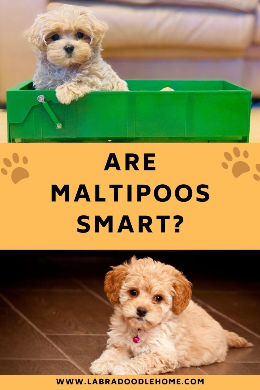 are maltipoos smart