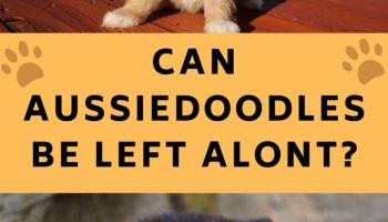 can an aussiedoodle be left alone