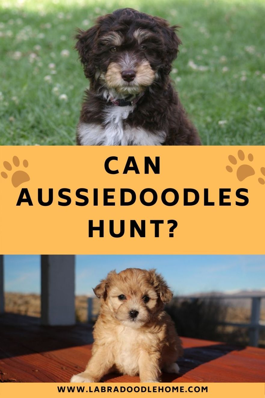 can aussiedoodles hunt