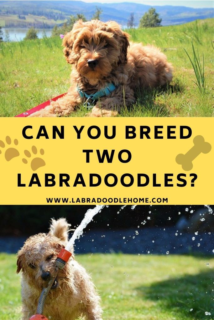 can you breed two labradoodles