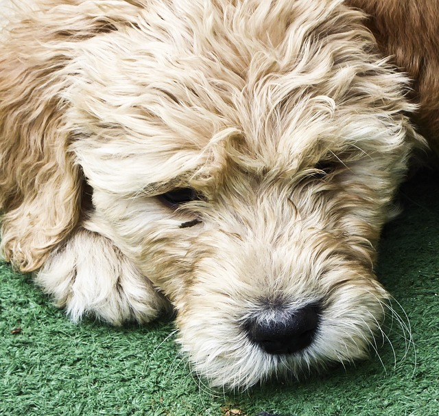 what is an english doodle english doodle size english doodle colors english doodle lifespan english doodle temperament english doodle grooming english doodle price