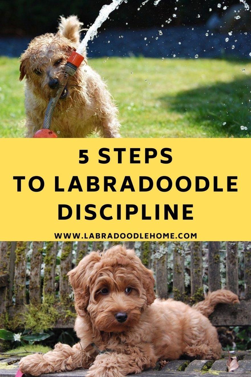 labradoodle discipline