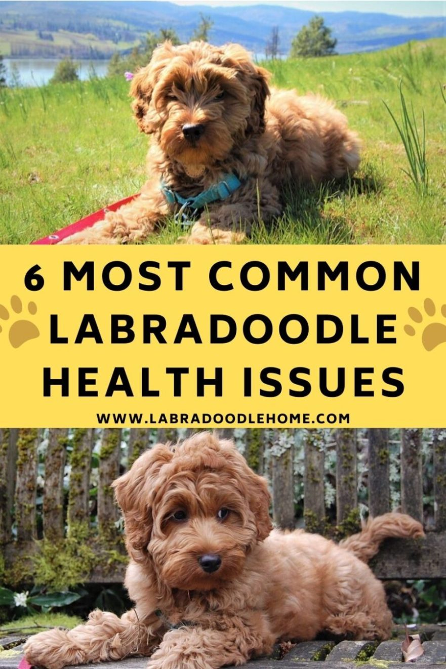 labradoodle health issues