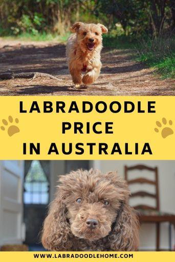 labradoodle price in australia
