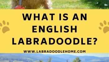 what is an english labradoodle