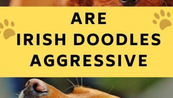 are irish doodles aggressive