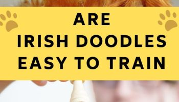 are irish doodles easy to train
