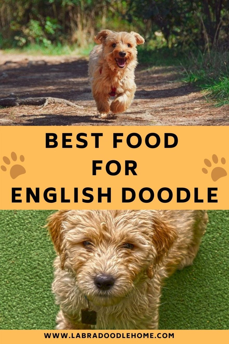 best food for ENGLISH DOODLE