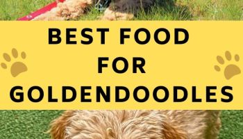 best food for goldendoodles