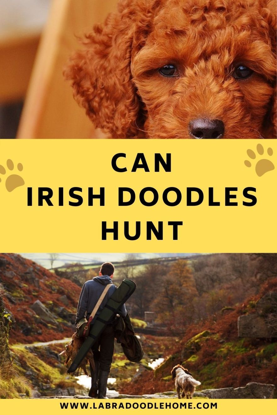 can irish doodles hunt
