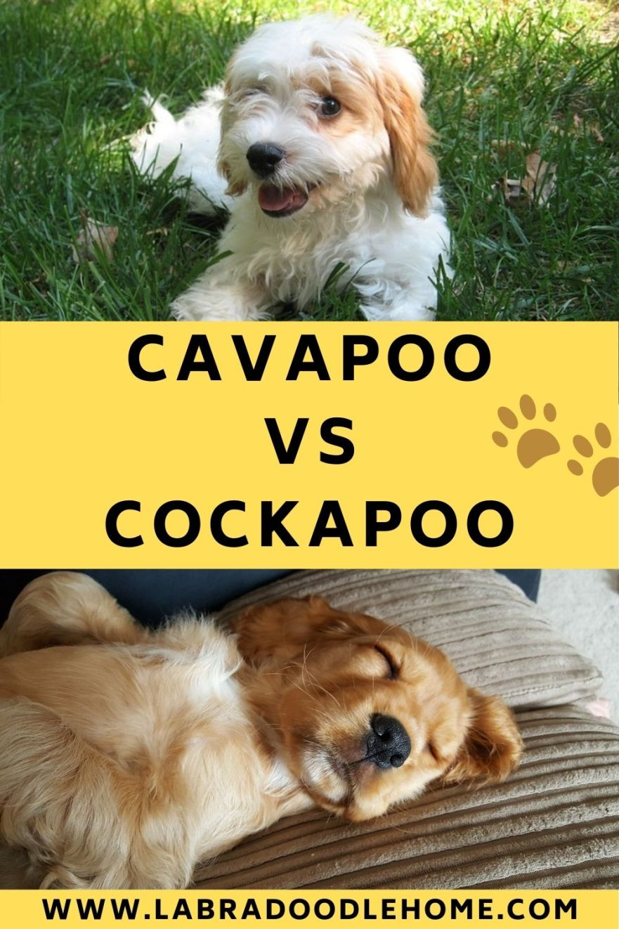 cavapoo vs cockapoo