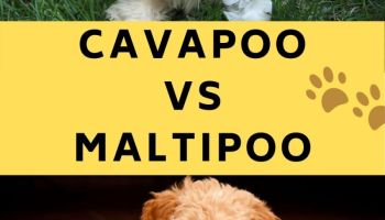 cavapoo vs maltipoo