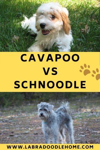 cavapoo vs schnoodle