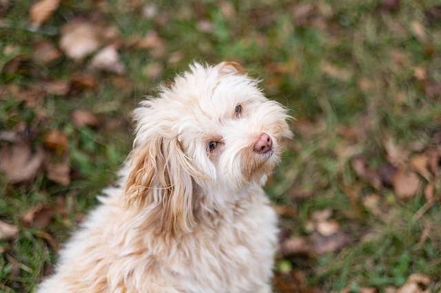 Havapoo Price havapoo puppy checklist