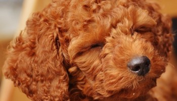 Irish Doodle Diet can irish doodles be left alone are irish doodles aggressive training an irish doodle doodle breeders in canada irish doodle puppies in florida