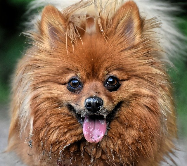 how much does a pomapoo cost