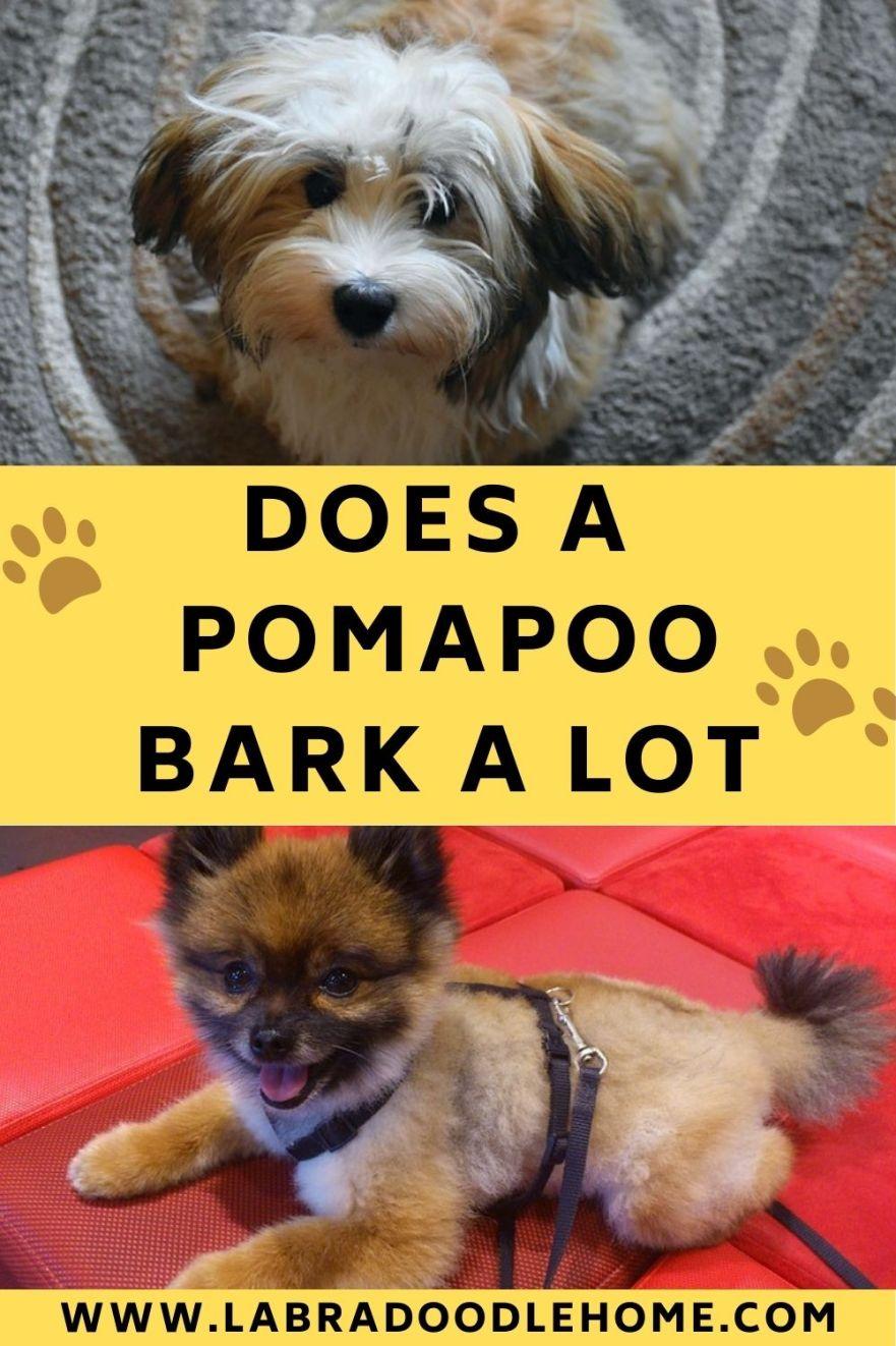 pomapoo barking