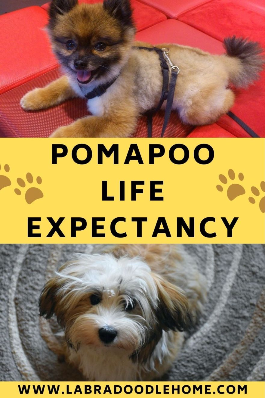 pomapoo lifespan pomapoo life expectancy