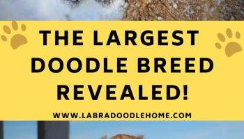 what is the largest doodle breed