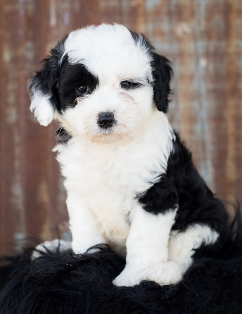 Sheepadoodle Breeders in Colorado