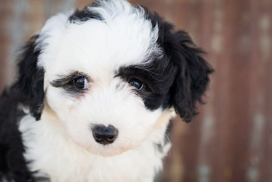 Sheepadoodle puppies in Colorado