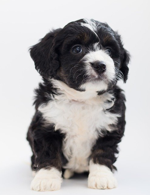 bernedoodle puppies in california