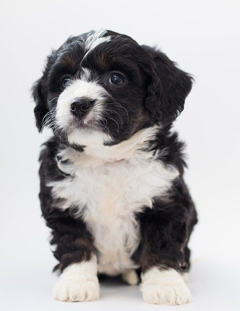 bernedoodle puppies in new england