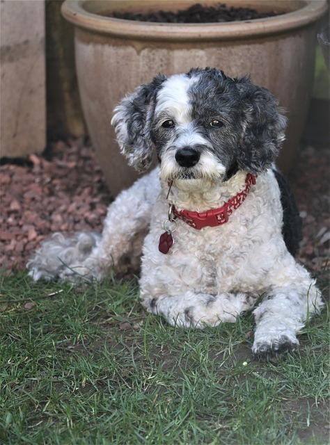 cockapoo breeders in tennessee