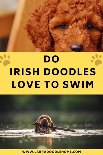 do irish doodles love to swim
