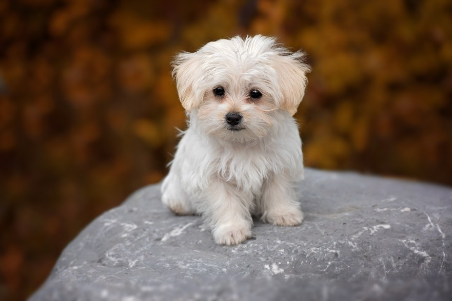 maltipoo puppies in arizona maltipoo puppies in the midwest