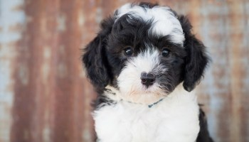 sheepadoodle breeders in idaho