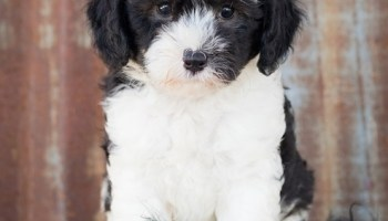 sheepadoodle breeders in pennsylvania