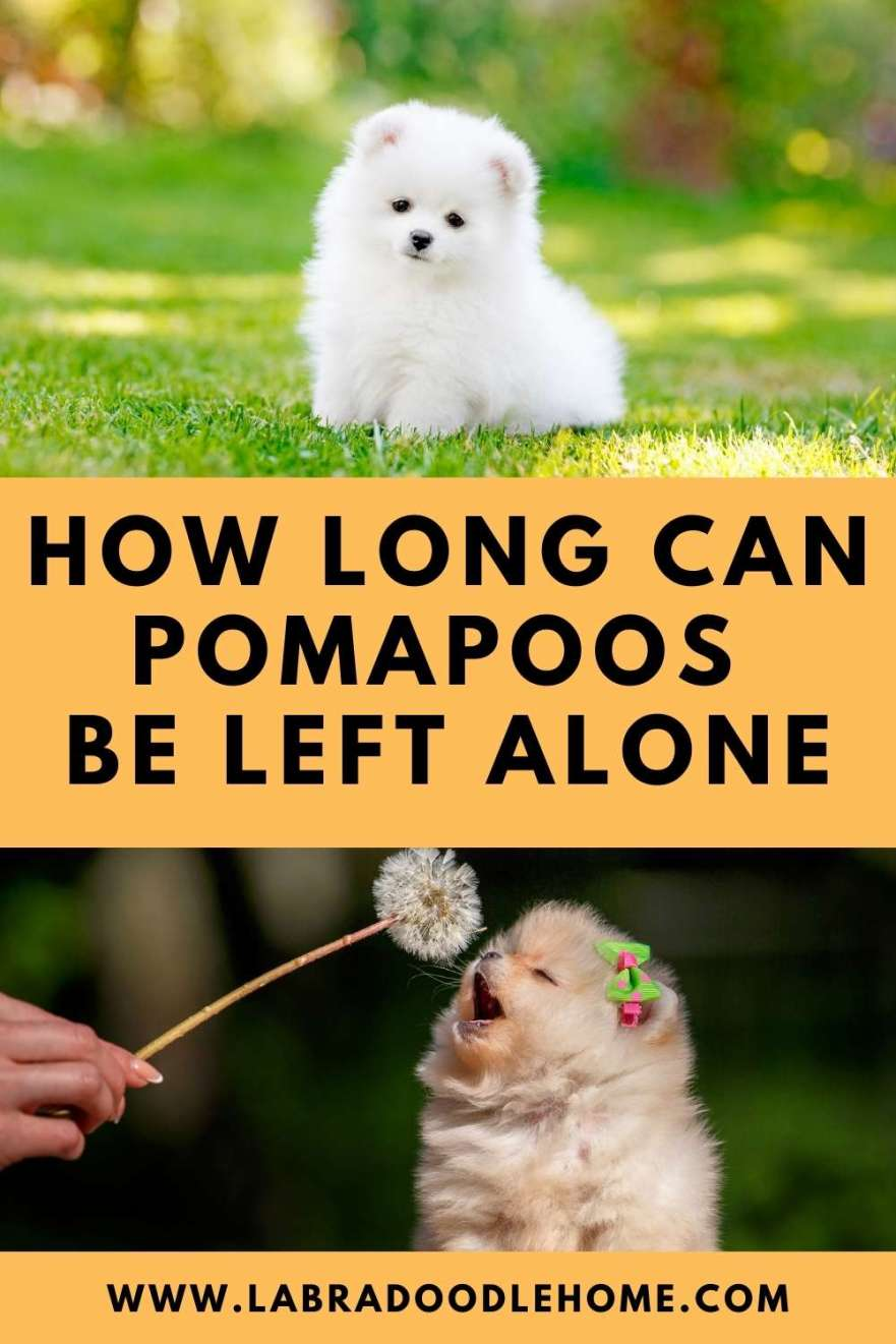 How Long Can Pomapoos Be Left Alone? – 11 Great Tips!