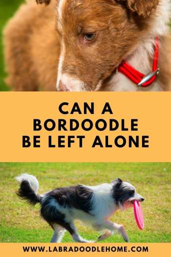 how long can a bordoodle be left alone