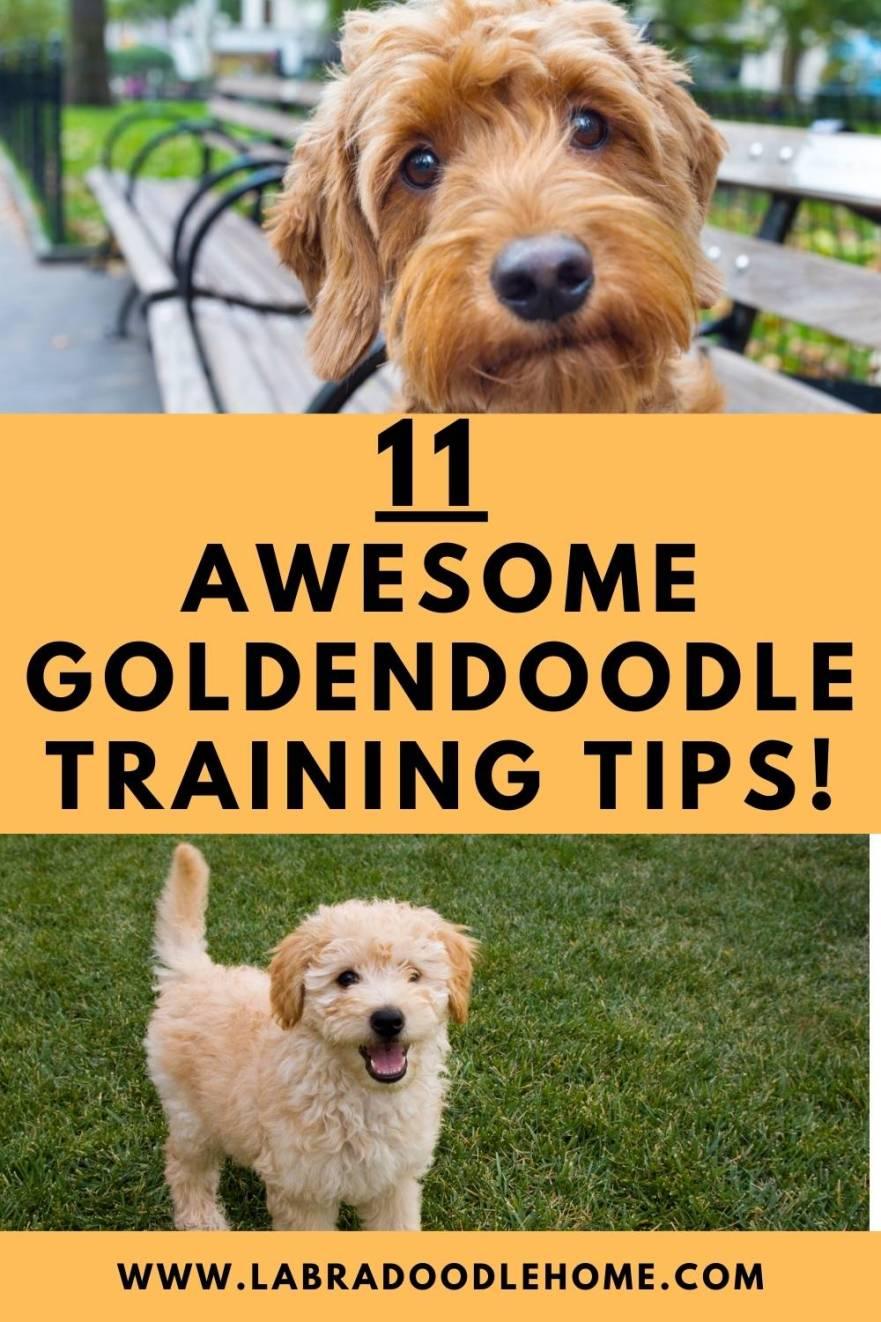 goldendoodle training tips