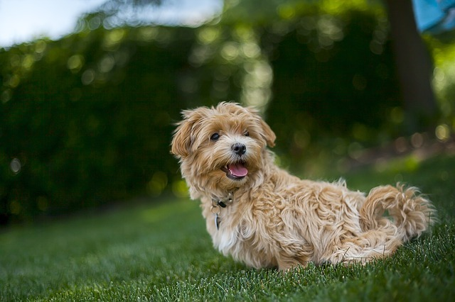 Maltipoo Full Grown Weight How Much Should A 3 - Month Old Maltipoo Weigh