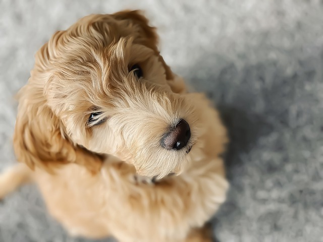 goldendoodle puppies in new jersey