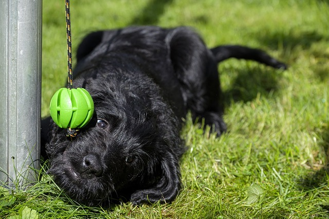 labradoodle breeders in new jersey