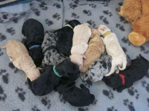 Evie's puppies