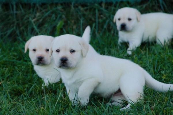 cuccioli di labrador bianco