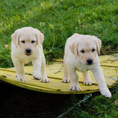 cuccioli di labrador giallo