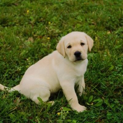 cucciolo di labrador giallo