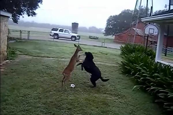 Labradeer Black Labrador Playing with Deer