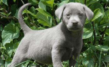 silver-labrador-puppy-in-the-garden
